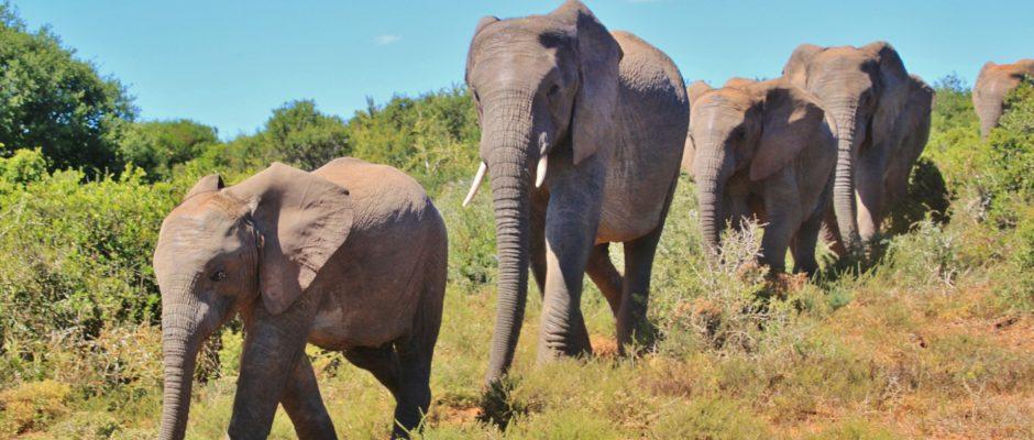 african-bush-elephant-463283_1920